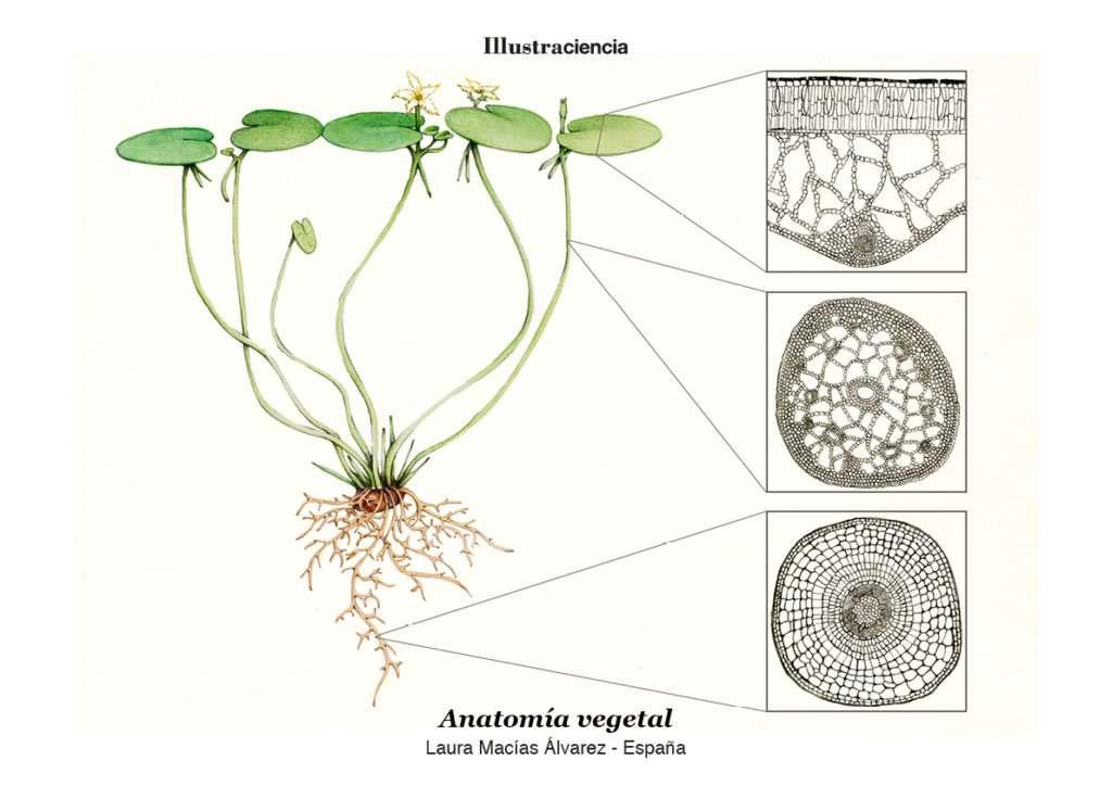 Anatomía vegetal #Illustraciencia4 - Scenio
