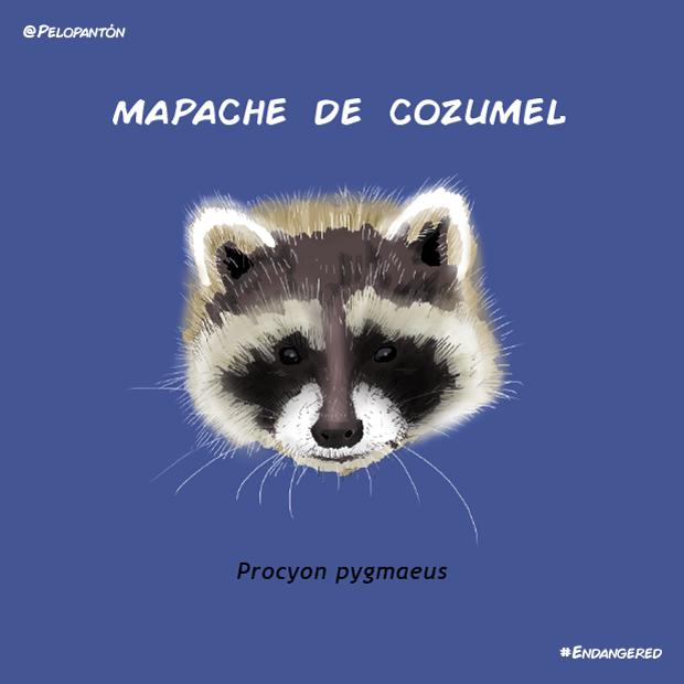 mapache_cozumel_pelopanton