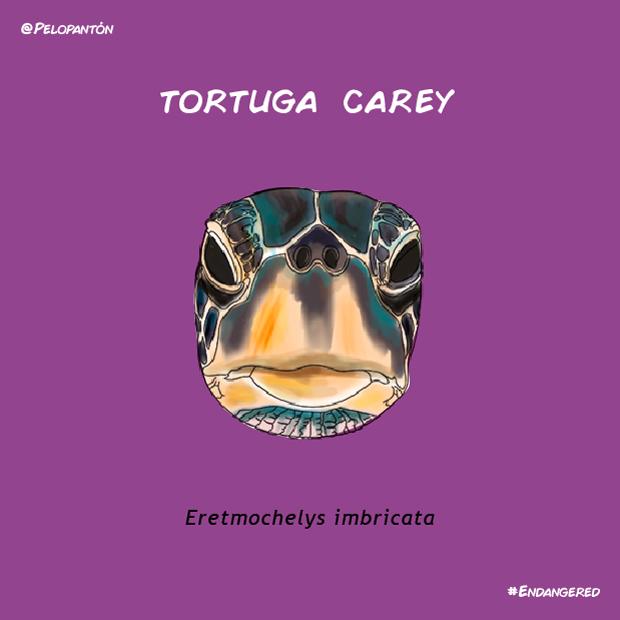 tortuga_carey_pelopanton
