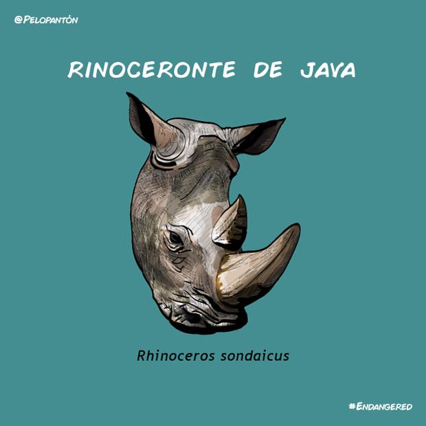 rinoceronte_java_pelopanton