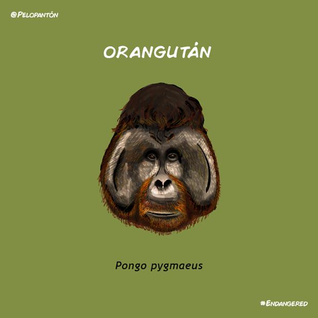orangutan_pelopanton